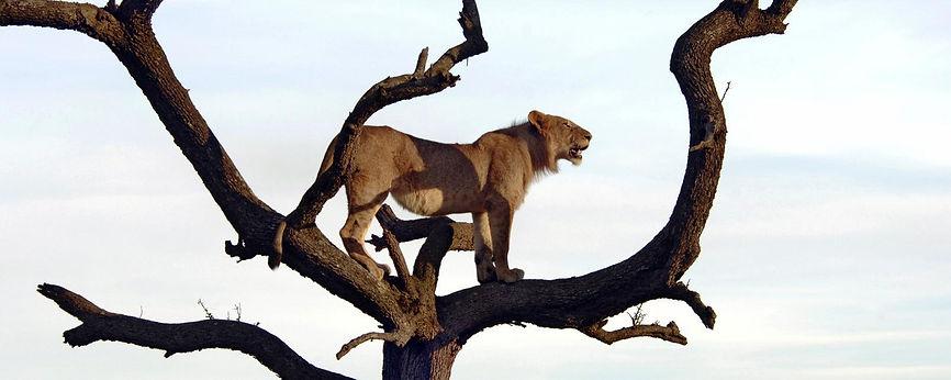 Leonessa sull'albero - Masai Mara Kenya.
