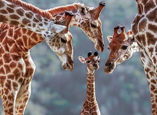 Giraffe_Tsavo_Est_Kenya.jpg