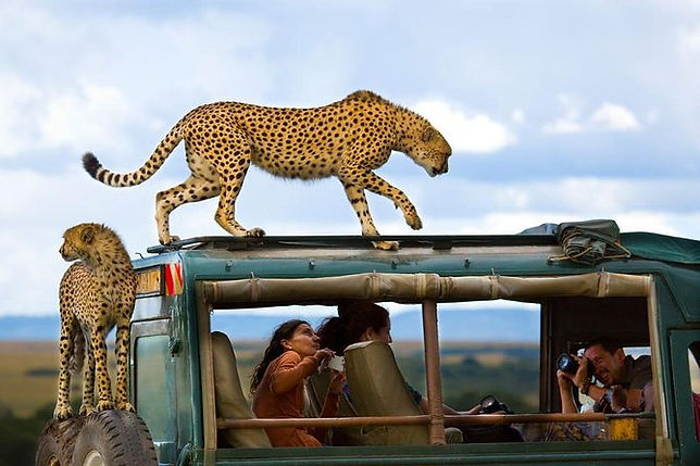 masai_mara_cheetah_on_the_jeep_kenya.jpg