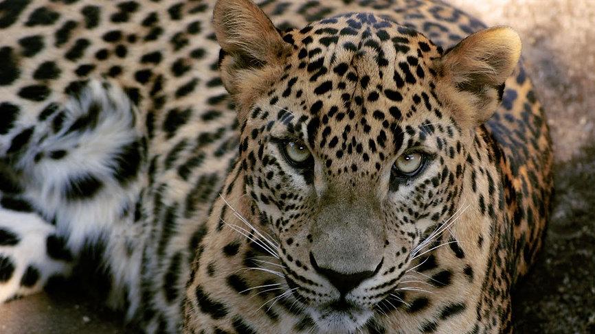 Leopardo-tsavo-est-kenya.jpg