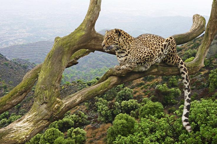 Leopard ARUSHA National Park.jpg