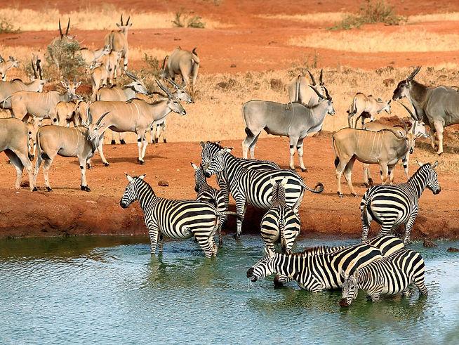 Zebre e Gazzelle - Tsavo - Kenya.jpg