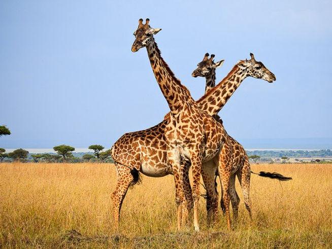 Giraffe Amboseli - Kenya.jpg