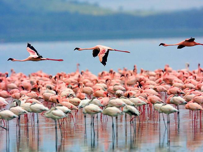 Flamingos Lake Nakuru - Kenya.jpg