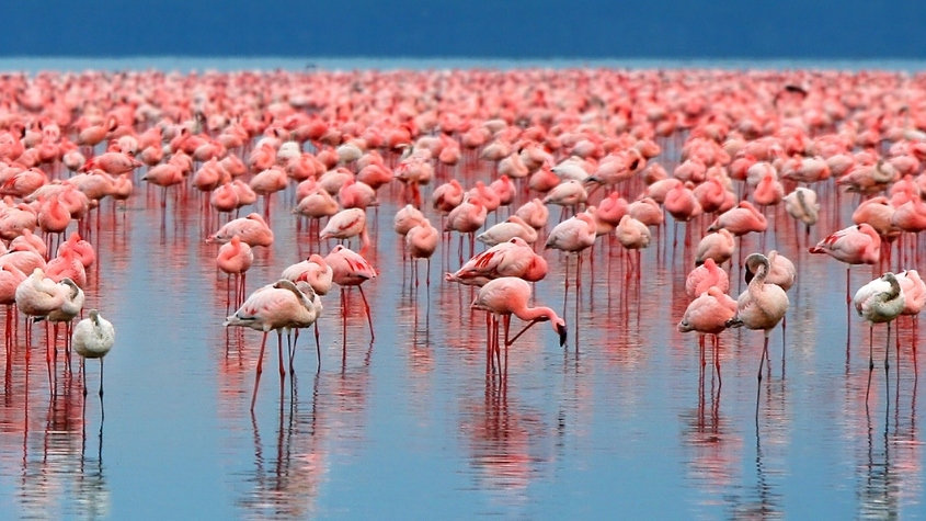 Rosa Flamingos - Lake Manyara National P