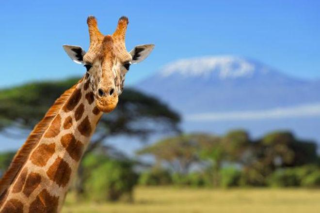 Giraffa Amboseli - Kenya.jpg