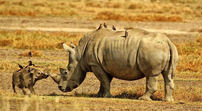 Rhinos - Kenya.jpg