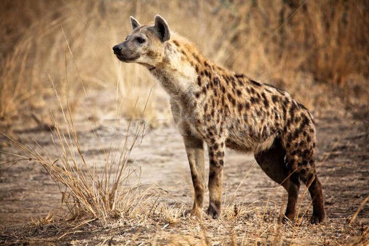 Hiena  - Kenya.jpg
