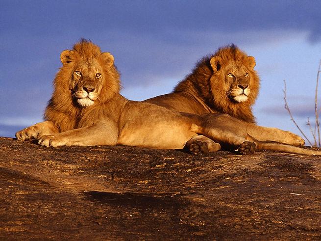 Lions - Tsavo - Kenya.jpg