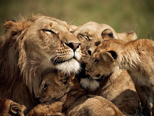 Lion FAMIGLIA - Kenya.jpg