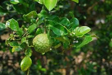 Limón con semilla