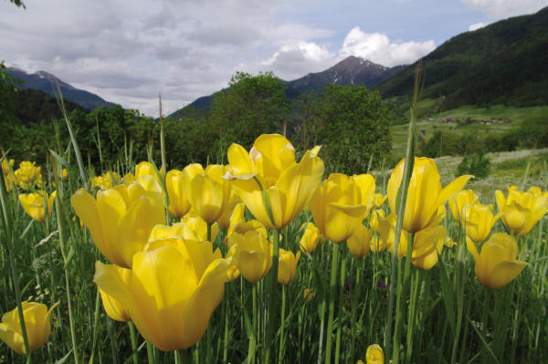 tulipa grengiolensis