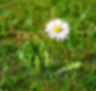 Gänseblümchen1.jpg