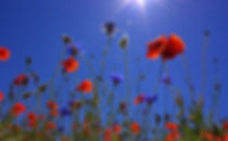 field-of-poppies-807871.jpg