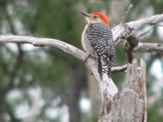 Red bellied woodpecker in the bon Secour national park