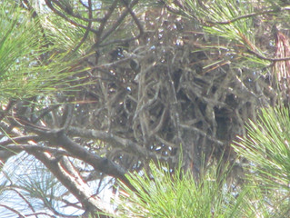 Blue Heron nest at the Pines public boat launch on Bon Secour Bay