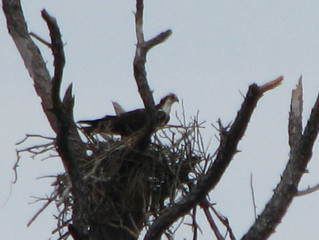 Osprey nesting at Fort Morgan Alabama