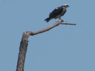 Osprey at Fort Morgan