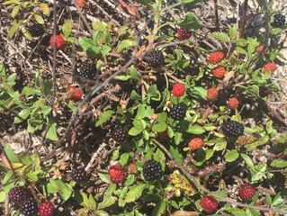 Dewberry picking time at Fort Morgan