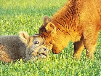 calving season.jpg