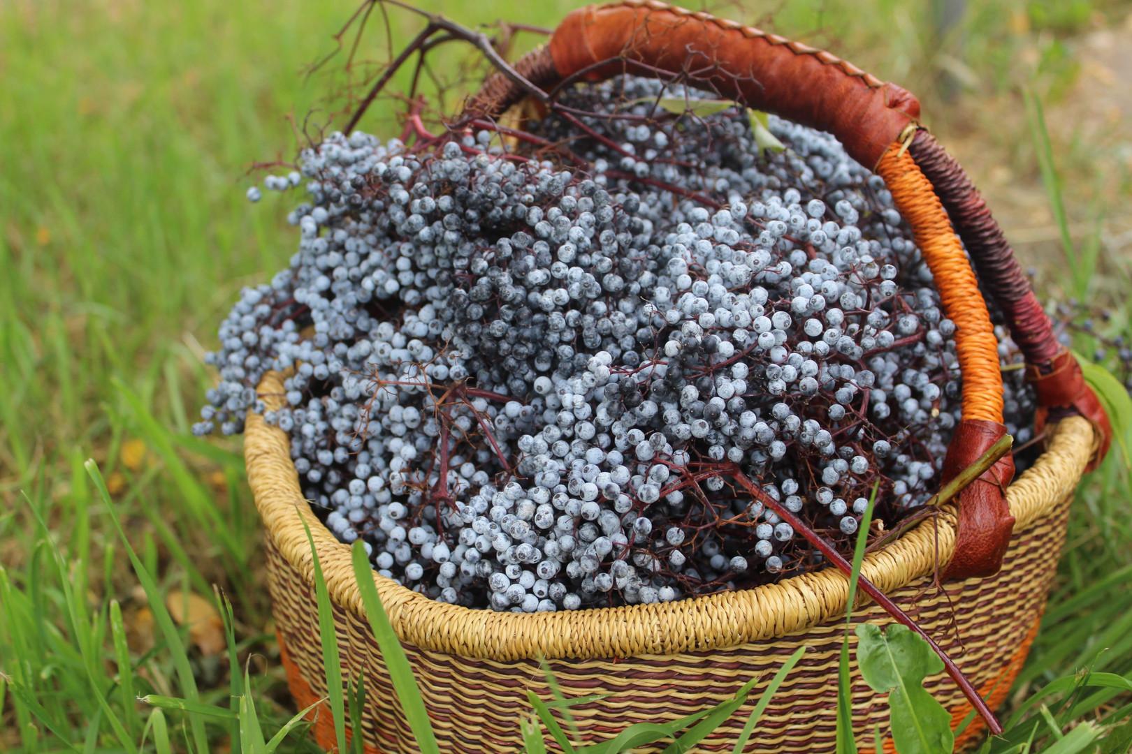 elderberries 6.JPG.jpg
