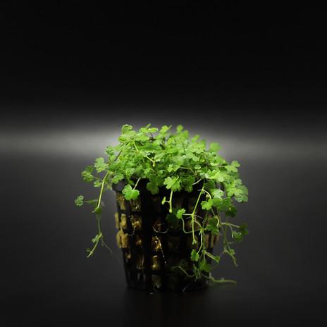 Hydrocotyle japan