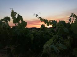 Pôr do sol nas vinhas