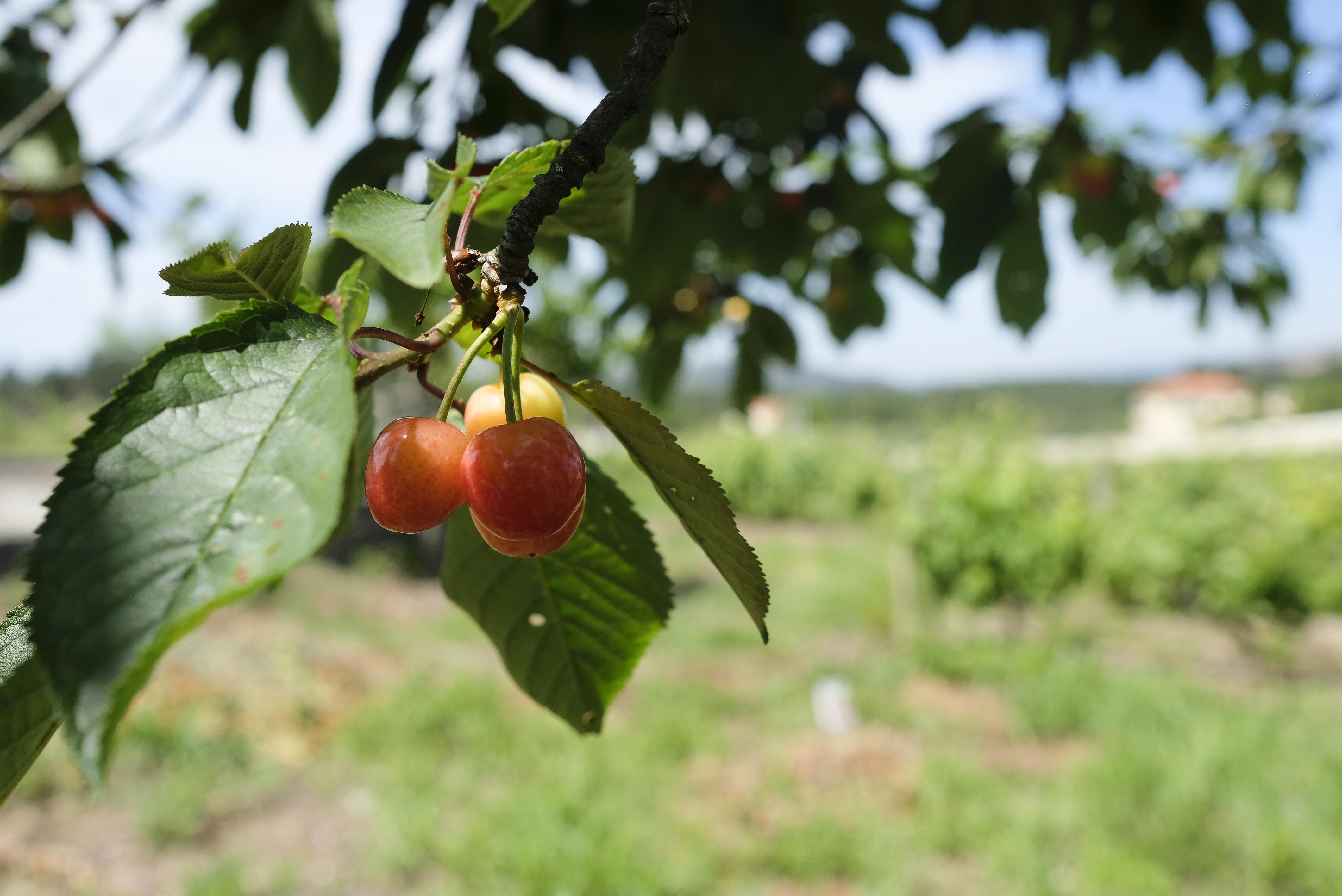Uma das nossas cerejeiras
