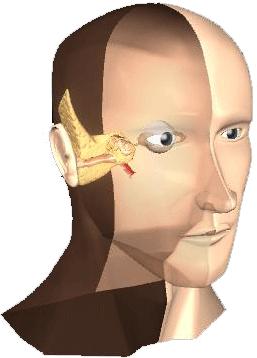 3D head model with inner ear