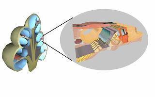 Cochlea and corti