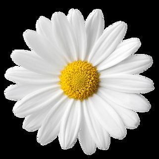 kisspng-common-daisy-daisy-family-clip-a