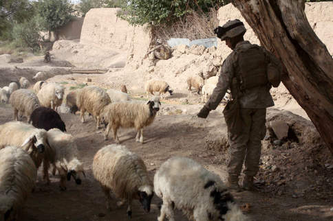 Marine feeds sheep