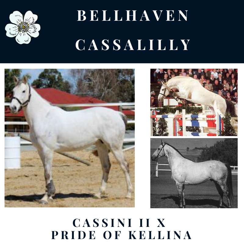 Bellhaven Cassalilly.png