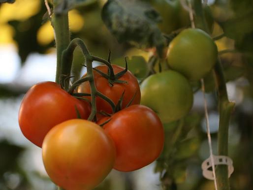 Производство тепличных овощей в Липецкой области увеличилось на 24%