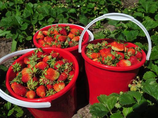 Липецкие хозяйства приступили к сбору садовой земляники
