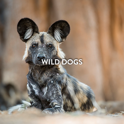 WILD DOGS.png