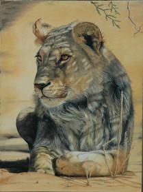 Young Kalahari Lion