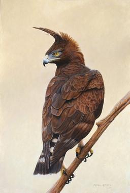 Long Crested Eagle