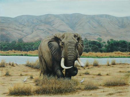 Zambezi Bull