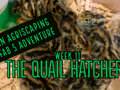 Agriscaping Week 11 - The Cute Baby Quail Hatchery