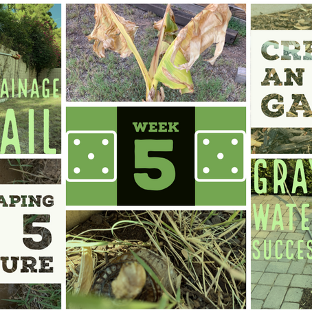 Agriscaping Week 5 - Drainage Fail & Graywater Success