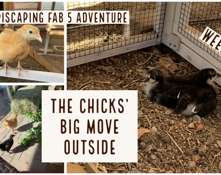 Agriscaping Week 13 - The Chicks' Big Move Outside