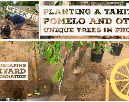 Agriscaping Week 16 - Planting a Tahitian Pomelo and Other Unique Trees in Phoenix