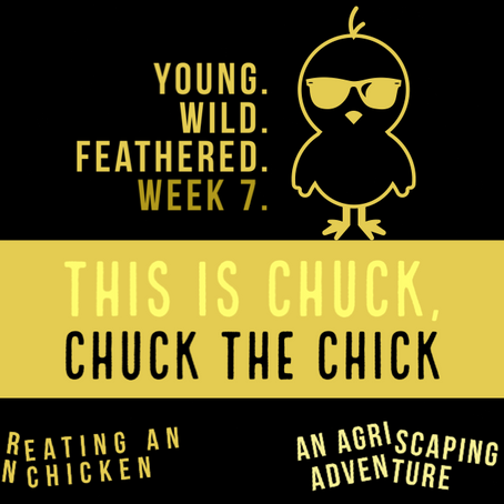 Agriscaping Week 7 - Meet Chuck.  Chuck the Chick.