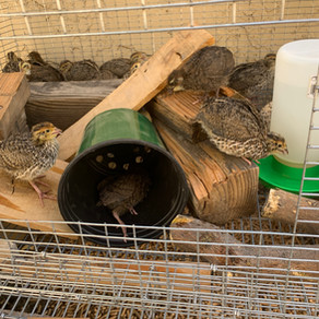 Agriscaping Week 18 - Quail Hutch Vs. Cages: What Works Best?