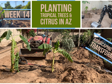 Agriscaping Week 14 - Planting Tropical Trees and a Citrus Garden in Phoenix
