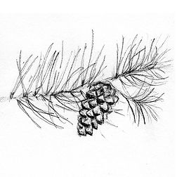 pine cone_drawing.jpg