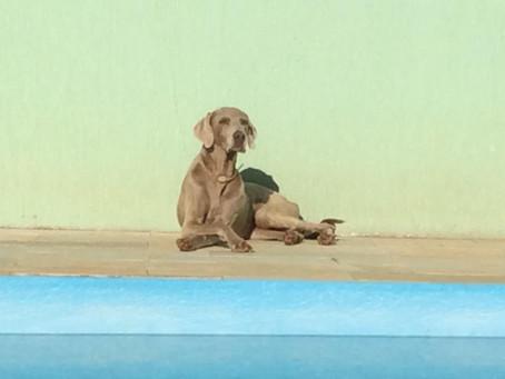 Depoimentos - Benefícios da Alimentação Natural para Cães / Tutora: Marta Pet: Weimaraner
