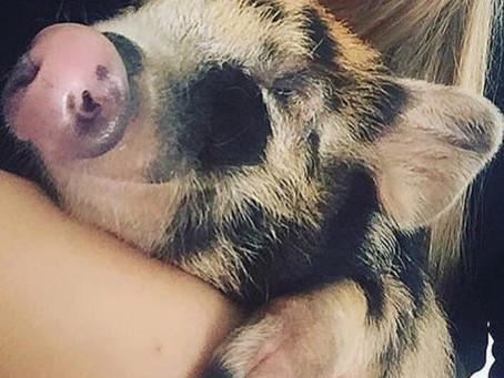 Tudo Sobre os Mini Pigs / Mini Porcos