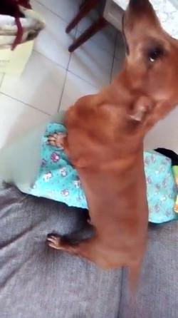 paciente joao tekel - cliente paula - animal natural - an